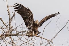 Juvenile Bald Eagle struggles to land - 22 of 27