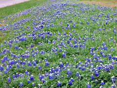Bluebonnets 2016 (The Old Texan) Tags: texas bluebonnets stateflower