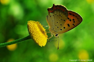 Butterflies of Turkei
