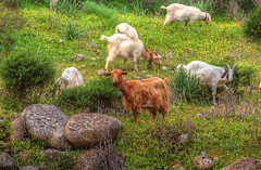ceddoni 'e krabas (babajuanne) Tags: fiori prato paesaggio mediterranea capre macchia rustica pascolo gregge