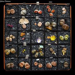 Piedras vivas / Living stones