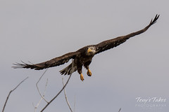 Juvenile Bald Eagle struggles to land - 12 of 27
