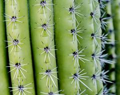 Backyard Cactus 049 (ljguitar) Tags: quail centuryplant suncitywest backyardcactus petemarilyn