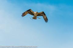 _DSC4797.jpg (orig_lowolf) Tags: usa dog nature oregon nikon flickr osprey lakeoswego turkeyvulture d300s sigma150500mmf563afapodgoshsmtelephotozoom