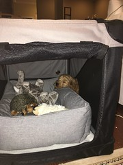 Abigail's Payton loves her new crate and all of the spoiling!!