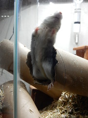 DSCN0803 (therovingeye) Tags: pets gerbil rodents gerbilhabitat