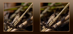 Grasshopper In Hiding 2 - Crosseye 3D (DarkOnus) Tags: macro closeup insect lumix stereogram 3d crosseye pennsylvania panasonic stereo grasshopper hiding stereography buckscounty crossview dmcfz35 darkonus