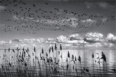 Movements (Marijke M2011) Tags: winter sky blackandwhite bw lighthouse lake reed water monochrome skyline outdoors island movement vuurtoren emptiness marken brantaleucopsis ijsselmeer touristic barnaclegeese reedbeds markermeer brandganzen hetpaard aflockofbarnaclegeese