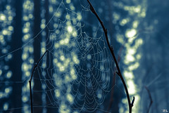 Spinnennetz im Morgentau (roland_lehnhardt) Tags: morning blue light shadow nature forest licht dof bokeh natur spiderweb cobweb dew wald schatten spinnennetz schrfentiefe morgentau unschrfe naturemasterclass teiltonung