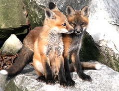 Brother Love (marylee.agnew) Tags: family red cute love nature twins kiss outdoor wildlife young canine siblings fox kits