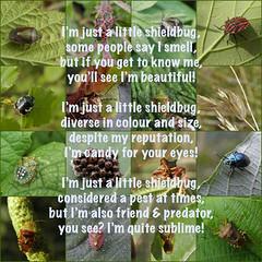 Just a little shieldbug! (rockwolf) Tags: poem shieldbug punaise heteroptera rockwolf