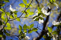 Shooting Star Trailhead (Notley) Tags: trees flower nature floral landscape spring dof bokeh outdoor depthoffield trail missouri april serene dogwood 2016 10thavenue notley boonecountymissouri notleyhawkins missouriphotography httpwwwnotleyhawkinscom notleyhawkinsphotography shootingstartrailhead