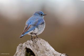 Mountain Bluebird - Merle-bleu azuré
