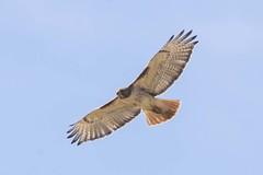 RED-TAILED HAWK (nsxbirder) Tags: indiana redtailedhawk buteojamaicensis brookville whitewaterriver franklincounty leveerdbrookville
