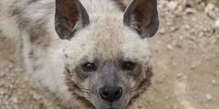 01507972 (News and Event update in the World) Tags: portrait animal mammal wildlife ears barbara ear gaze hyena striped animalia mammalia direct carnivore vertebrate hyaena rse carnivora hyaenidae bergeri antiquorum notreleased bilkiewiczi
