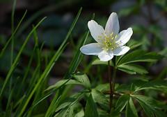 Wood anemone - Bosanemoon (joeke pieters) Tags: flower ngc npc wildflower bloem buschwindrschen anemonenemorosa woodanemone bosanemoon anmonedesbois platinumheartaward panasonicdmcfz150 1260824