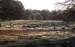 Richmond Park, London (elisecavicchi) Tags: park uk morning light tree london field sunrise dawn early europe frost glow britain united great meadow kingdom richmond deer gilded herd brilliant