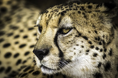 Spotty Vision (Paul E.M.) Tags: spots cheetah sdzoo