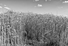 06042016Soleil d'avril -P1020183-Modif.jpg (danielgschmitt) Tags: soleil nb paysage printemps roseaux themes lx100 disciplinephoto