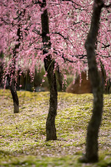 20160229-102759_5K_80 (pya) Tags: kyoto 京都 camellia plumblossoms jonangu 梅花 茶花 城南宮 椿花 weepingplumblossoms