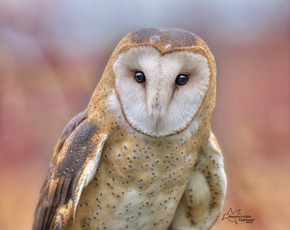 Barn Owl - Close Up