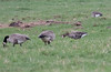 Greater White-fronted Goose (Laura Erickson) Tags: birds wisconsin places species canadagoose brantacanadensis greaterwhitefrontedgoose anatidae anseralbifrons anseriformes portwing bayfieldcounty