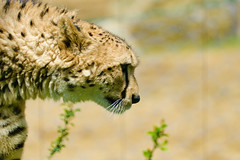 Male Cheetah, Asnaro of Yokohama Zoological Gardens :  (Dakiny) Tags: park male nature animal yellow japan mammal zoo spring nikon feline outdoor bigcat april cheetah yokohama tamron kanagawa 2016 zoorasia savagebeast a005 asnaro beastofprey yokohamazoologicalgardens d7000 nikonclubit modela005 sp70300mmf456divcusd asahiward