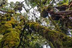 Mossy Forest (Guillaume Desfeux) Tags: old trees green forest moss highlands cameron malaysia magical mossy