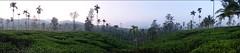 DSC_0164 (paulaeverywhere) Tags: india sunrise tea plantation wayanad teaplantation kalpetta