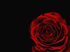 (subahaka) Tags: rose olympus