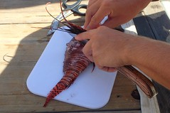 Lion Fish are delicious to eat - This one is being prepared sashimi style with wasabi and soy sauce - Yum! (Derrick Laszlo) Tags: diving curacao april lionfish 2016