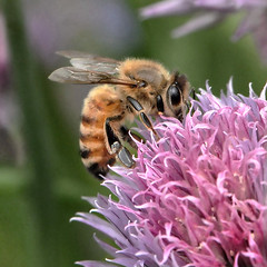 Pinks And Purples...Bees Cannot Resist Them. (Vidterry) Tags: bee