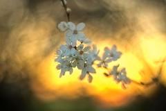 Cherry in sunset bokeh (* mariozysk *) Tags: flowers light sunset orange cherry warm pentax bokeh k5 zachd soca kwiat winia smctakumar50mm ciepe mariozysk