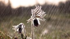 Pulsatilla 3 (ledman™) Tags: sunset plant flower color macro bird nature up field weather animal canon photography hungary 2000 dof close cloudy outdoor meadow natura lonely wildflower depth ssp debrecen pulsatilla pratensis fekete kökörcsin hungarica sámson