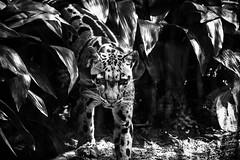 Clouded Leopard (awdylanis) Tags: park wild plants cat zoo eyes feline pretty 04 awesome whiskers spots leopard bigcat april meow bushes lowry sleek strut apr cloudedleopard lowryparkzoo 2016 neofelisnebulosa comingoutofthebushes cloudedspots