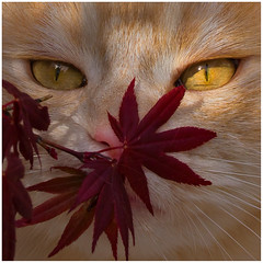 Just sniffing ! (FocusPocus Photography) Tags: pet animal cat chat linus gato katze haustier kater tier