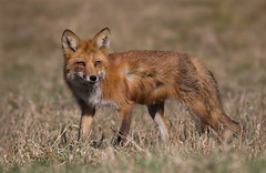 Red Fox (missymandel) Tags: red ontario wildlife fox
