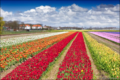 noordwijkerhout (heavenuphere) Tags: pink flowers red orange white flower netherlands yellow landscape carpet spring europe purple nederland tulip hyacinth noordwijk zuidholland noordwijkerhout bollenstreek bulbfields southholland 24105mm