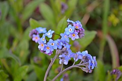 Small, simple an sericeous... (Maria Godfrida) Tags: blue flower green nature garden petals spring lavender lilac forgetmenot wildflowers springtime smallflowers