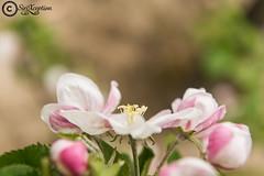 Something... (sirixception) Tags: flower rose fruit belgium belgi appel roze bloem sinttruiden haspengouw
