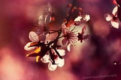 sakura (blueandyou.photography) Tags: pink flower nature spring nikon colourful frhling blueandyouphotography