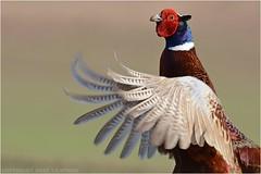 "Pheasant (DaveChapman ""If it flies,I shoot it"") Tags: red white green bird gold wings purple pheasant bokeh colourful flap flaps"