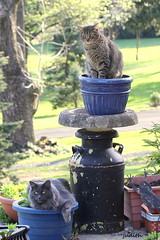 planting cats (judecat (getting back to nature)) Tags: cats felines vinny ozzie browntabby catsinthegarden flowercontainers longhairedgreycat
