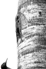 Almost home (Stefan Gerrits aka vanbikkel) Tags: park bw white black bird nature birds espoo finland woodpecker centralpark wildlife specht puisto lintu blackwoodpecker dryocopusmartius palokrki zwartespecht canon5dmarkiii vanbikkel espoonkeskuspuisto canonef500mmf4liiusm