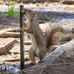 Thirsty Squirrel (mdalmuld) Tags: animal squirrel drinking olympus thirst thirsty omd treesquirrel