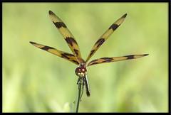 Halloween Pennant (Lee_Marcus) Tags: dragonfly halloweenpennant celithemiseponina