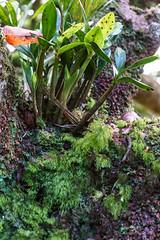 Dendrobium moorei orchid & filmy fern Hymenophyllum howense & moorei on Mt Gower (NettyA) Tags: plants orchid fern flora australia hike orchidaceae nsw summit dendrobium day6 bushwalk unescoworldheritage lordhoweisland 2016 lhi moorei filmyfern arfp mtgower dendrobiummoorei lhrfp arffern thelychitonmoorei arfepiphyte arflithophyte subtropicalarf hymenophyllumhowense hymenophyllummoorei gnarledmossycloudforest janetteasche lordhoweforclimate mtgowerclimb