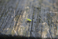 Aphid (Arne Kuilman) Tags: macro green closeup insect table groen close near small 8 olympus handheld luis nocrop uncropped aphid macrophotography bladluis em10 sooc rokinon rokinonultrawidemacro