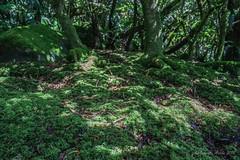 Mossy ground on Mt Gower - Hypnodendron vitiense (NettyA) Tags: plants moss flora australia ground hike nsw summit day6 bushwalk mossy unescoworldheritage lordhoweisland 2016 lhi mtgower hypnodendronvitiense janetteasche lordhoweforclimate mtgowerclimb