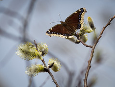 Mourning Cloak (skram1v) Tags: butterfly cool winnipeg mourning cloak conditions pussywillows slowspring april2016
